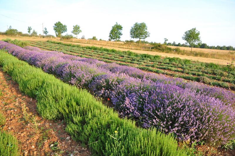 Visites guidées estivales gratuites Aromatiques du Larzac ©OFFICE DE TOURISME LARZAC VALLEES
