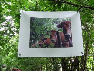 Expo photos Vaches sur le Sentier de l'imaginaire à Thérondels