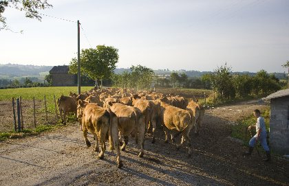 l'éleveur ramène les vaches en pâture après la tétée, IRVA
