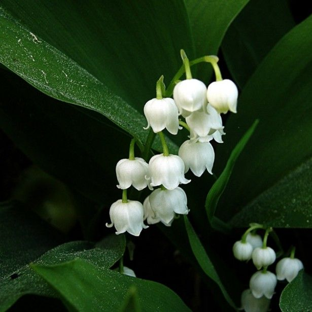 Distribution de muguet