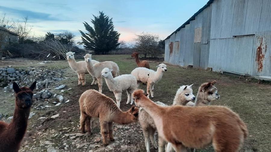 Les Alpagas filent sur le Larzac