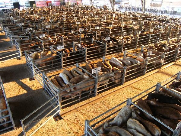Visite guidée du marché aux bestiaux de Laissac (groupe)