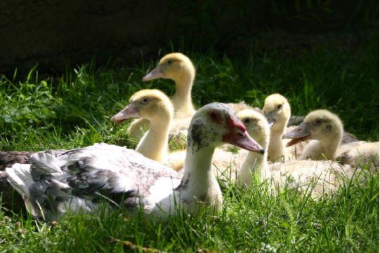 VISITE & GOUTER autour du canard gras